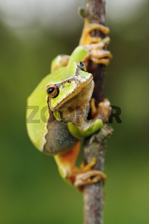 cute european green tree frog ( Hyla arborea ) on a twig