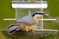 nuthatch with sunflower seed