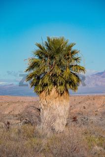 Washingtonia filifera palm in Nevada, Lake Mead national recreation area