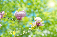 Flowers of Magnolia soulangiana