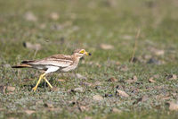 Eurasian stone curlew
