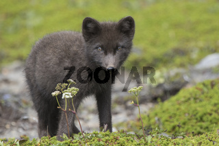 Commanders blue arctic fox pup standing in the green summer tundra