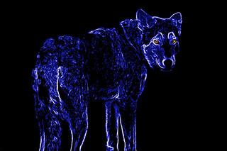 Wolf standing