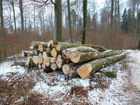 Woodcut, wood harvest in winter time