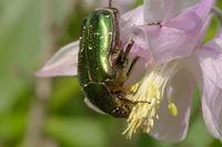 goldglänzender  rosenkäfer