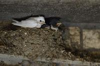 almost fledged... white Barn Swallow *Hirundo rustica*