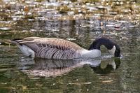 Canada Goose swimming on a natural pond.