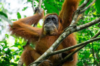 Animals in wild. Orangutan in tropical rainforest. Sumatra, Indonesia