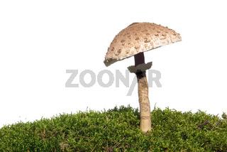 Riesenschirmpilz