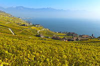 Vineyards in golden autumn foliage rising above Lake Geneva, Rivaz, Lavaux, Vaud, Switzerland