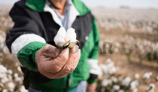 Farmer's Weathered Hands Hold Cotton Boll Checking Harvest