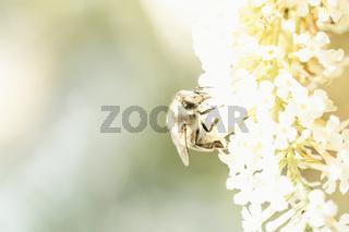 Eine Schwebfliege (Syrphidae) auf einem Schmetterlingsflieder.