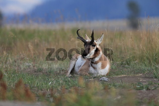 Pronghorn im Lamar Vally