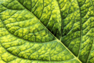 detailed surface of hortensia fresh green leaf