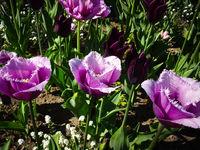 purple tulips, white tulip flowers in garden