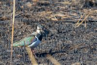 Northern Lapwing, Vanellus vanellus, standing on a burnt field