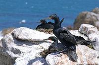 Cape cormorants, South Africa