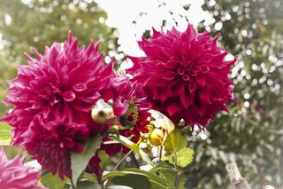 Zwei rosafarbene Dahlie (Dahlia) im Gegenlicht