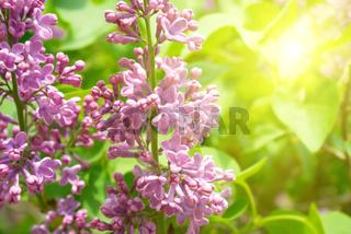 Violet lilac branch