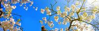 White flowers of the cherry tree.