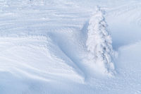 Snow covered spruce, Lapland, Sweden