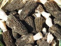 Fresh Black morels - Morchella elata