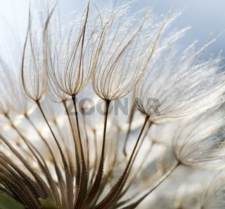 beautiful dry dandelion seeds in close up