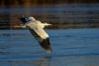 common grey heron in flight