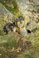 Alpenmurmeltier (Marmota marmota)