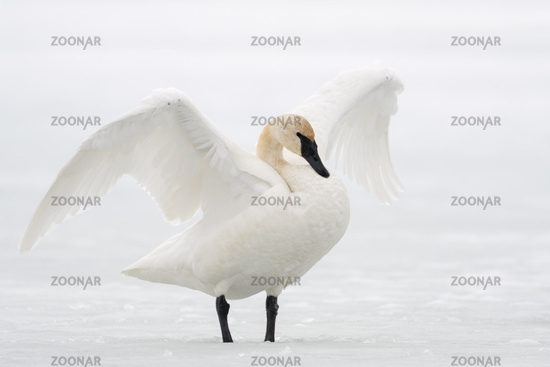 flapping its wings... Trumpeter Swan *Cygnus buccinator*