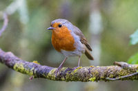 Robin on a branch in a woodland setting.