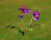 spring pea; spring vetch; flower; blossom