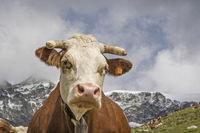 cow in Gran Paradiso area