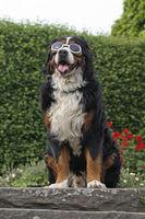 Berner Sennenhund sitzt auf Terassenstufen und hat eine Hunde Sonnenbrille auf