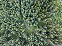 Top shot of coniferous forest