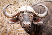 South Africa, African buffalo
