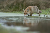 walking through the water of a swampy pond... Red Fox *Vulpes vulpes*