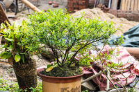 Bonsai on backyard of country house in Chengyan