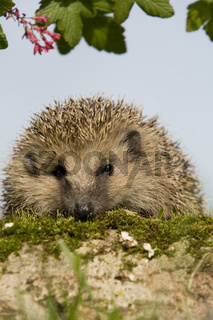 Igel, hedgehoge