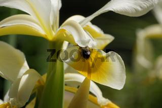 Iris ochroleuca, syn. Iris orientalis, Steppen-Iris, oriental iris, mit Biene, with bee