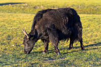 Grazing black yak (Bos mutus), Orkhon Valley, Mongolia