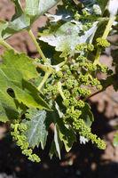 sehr junge Weinreben an alten Weinstöcken im Orotava-Tal,  Tener