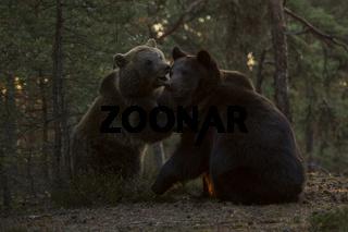 Jungbären... Europäische Braunbären *Ursus arctos* am frühen Morgenlicht im spielerischen Kampf