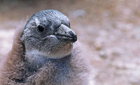 young African penguin, Boulders Beach, South Africa