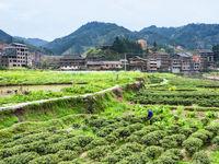 tea bushes in Chengyang village