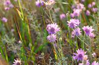 Wild flowers florets of violet color close-up. Steppe landscape