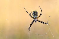 Wesp spider