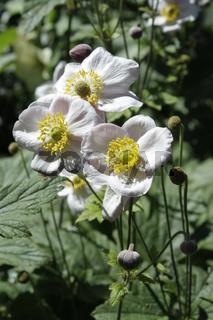 weisse Blume, anemone