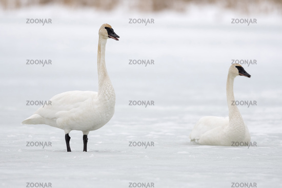 calling... Trumpeter Swans *Cygnus buccinator*