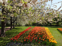 beautiful garden with colorful tuip flowers
